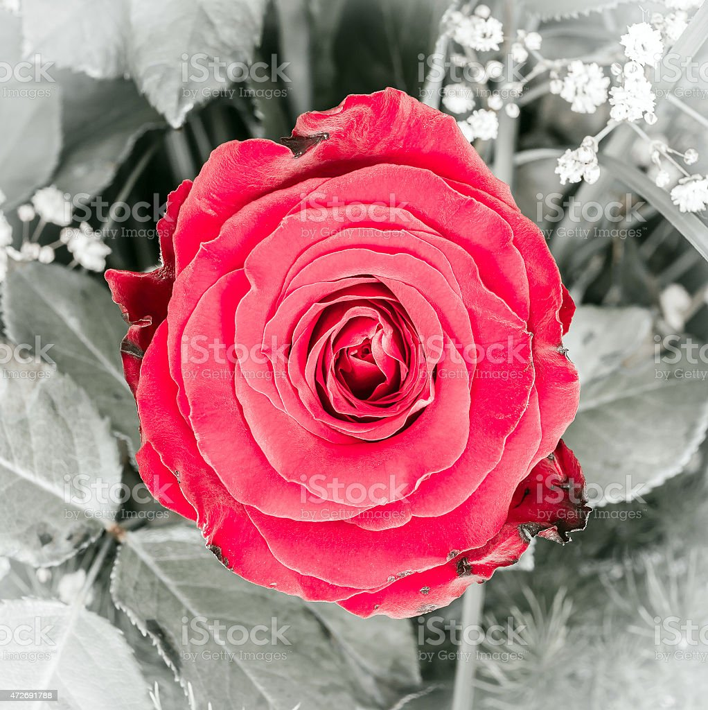 Beautiful Red Rose Flower Stock Photo More Pictures Of 2015 Istock