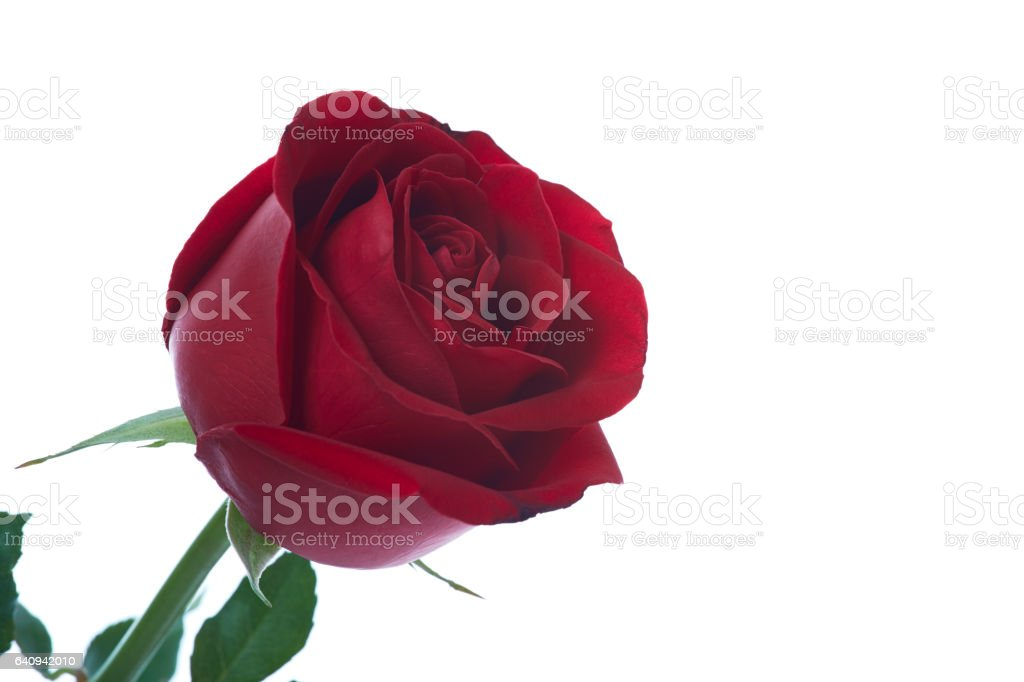 Belle Fleur Rose Rouge Photos Et Plus D Images De Amour Istock