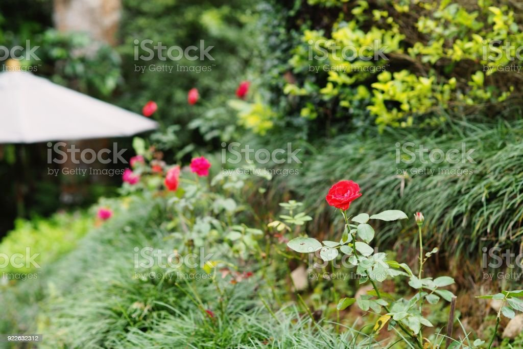 Beautiful red rose in a garden / park.  Selective focus at the red rose in the front and blurred background. stock photo