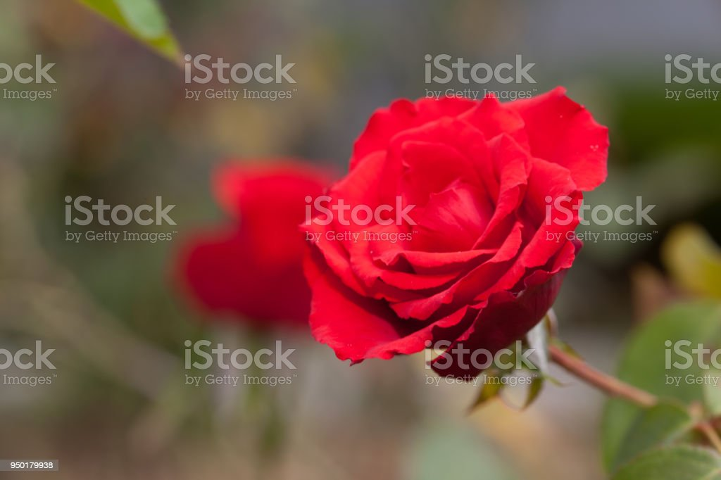 Beautiful red rose in a garden (rose) stock photo