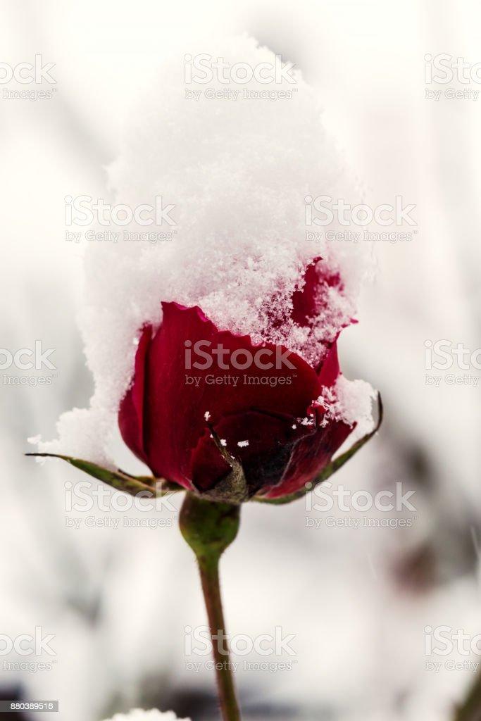 Beautiful red rose in snow, macro image stock photo