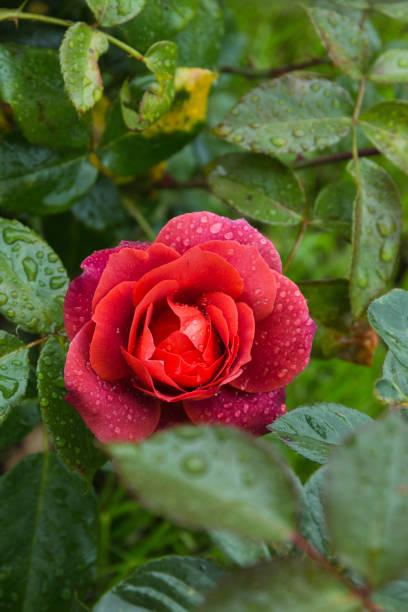 beautiful red rose in the garden with rain drops, selective focus - gradients golden ribbons imagens e fotografias de stock