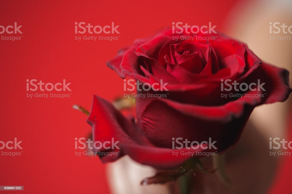 beautiful red rose in woman hands on a  background. stock photo