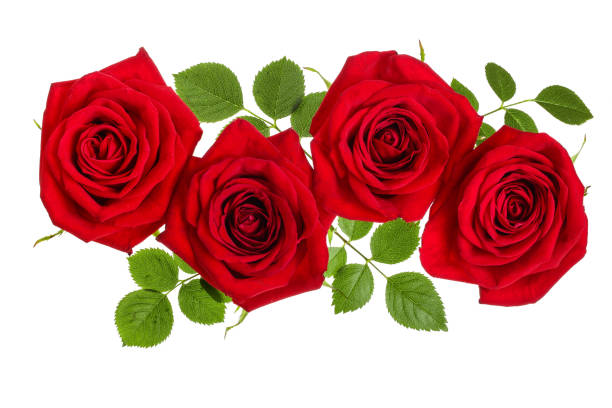 Beautiful red rose isolated on white background picture id1047183342?b=1&k=6&m=1047183342&s=612x612&w=0&h=h2bfphsmylestmy4d 4mdpxx41 4qrnwt1szavrlhwg=