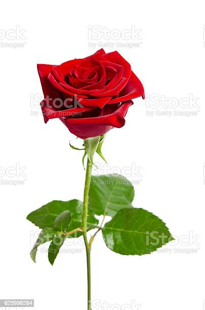 Beautiful red rose isolated on white background picture id625996264?b=1&k=6&m=625996264&s=612x612&h=tmx0y5sbzwcpnqpi2jdru2cgwewmhws bd5od5x7a k=