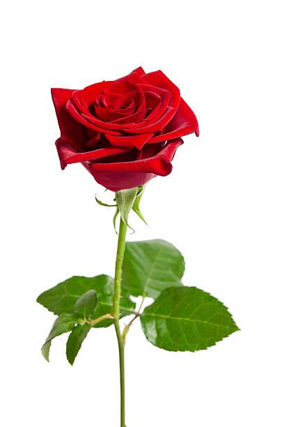 Belle rose rouge isolé sur fond blanc  - Photo