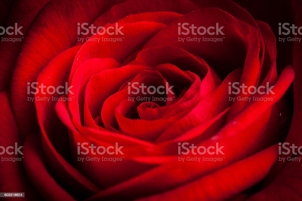 beautiful red rose macro shot close up stock photo