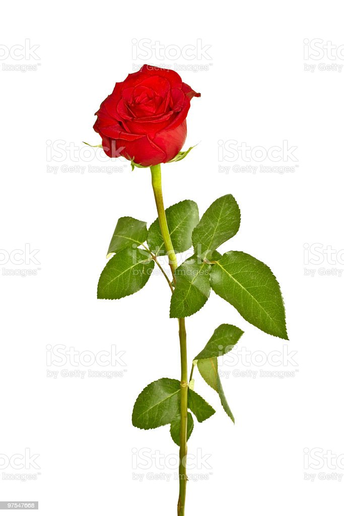 Beautiful red rose on a white background royalty-free stock photo