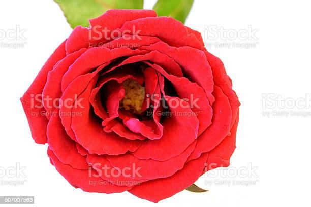 Beautiful red rose on white background picture id507007563?b=1&k=6&m=507007563&s=612x612&h=tc6tauoanpv79umq8jsxlq1wuoqihedufqv8csl6dry=