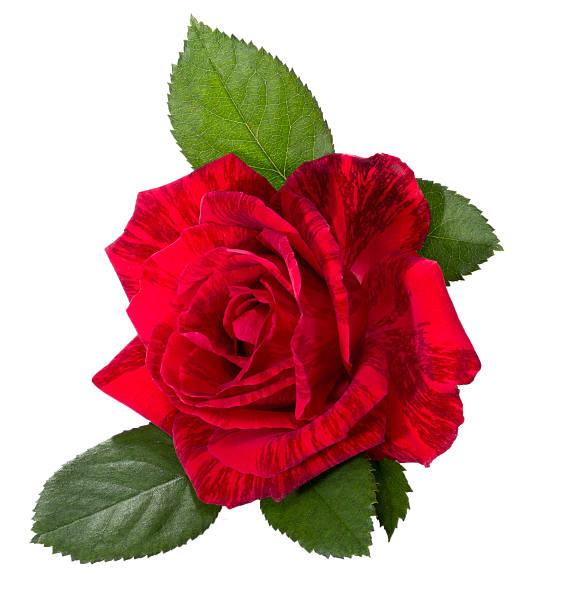 Beautiful red rose picture id487082208?b=1&k=6&m=487082208&s=612x612&w=0&h=x7x6hg6pchglk7z0fghnjlalgtlulbfjd3ljcbqxqmy=