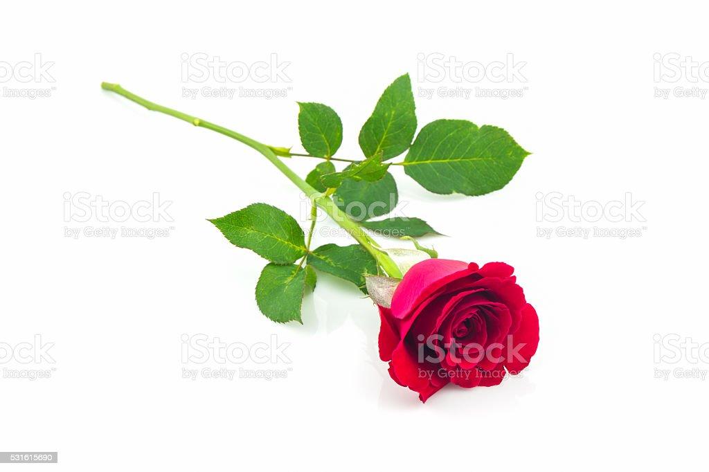 Beautiful red rose. stock photo