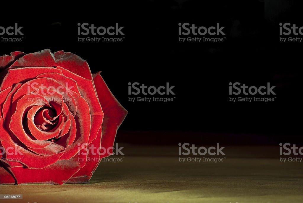 Bellissima Rosa rossa foto stock royalty-free
