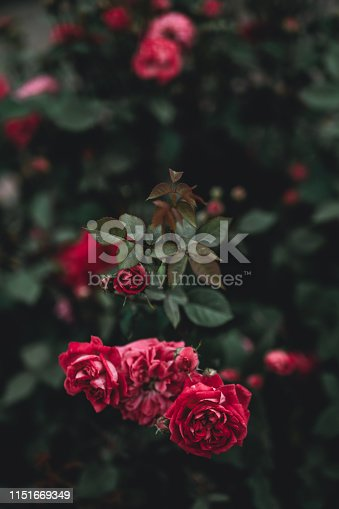 Beautiful red rose with blurred green background