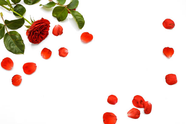 Beautiful red rose with leaves isolated on white background with copy picture id1091609846?b=1&k=6&m=1091609846&s=612x612&w=0&h=4hw04spglnqrdkfu1bqilronuw55kb1ppa4z0lyt ry=