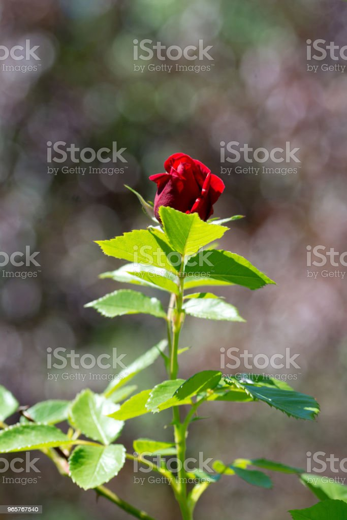 Beautiful red rose with selective focus - Royalty-free Beauty Stock Photo