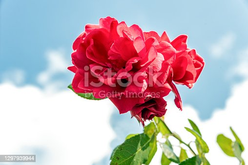 Beautiful Red Roses Against Summer Sky