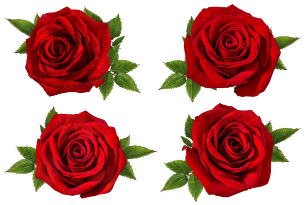 Beautiful red roses isolated on white background with clipping path picture id1130937501?b=1&k=6&m=1130937501&s=612x612&w=0&h=gsr1btweewzm2igidx8fnysw73v mjybspui9jch8zm=