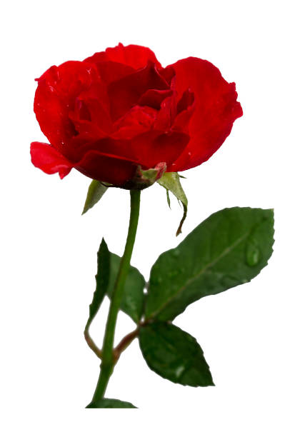 Beautiful red roses isolated with clipping paths picture id1164287597?b=1&k=6&m=1164287597&s=612x612&w=0&h=ntoy9wki4vrlkzlu6rucuua6ertoqdsc 6kx0wmvaty=