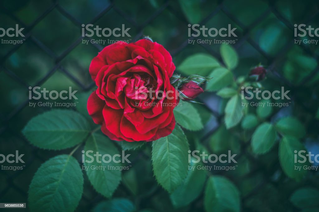 Beautiful red roses on a bush in a garden, texture, author processing/ Red rose as a natural and holidays background - Royalty-free Author Stock Photo