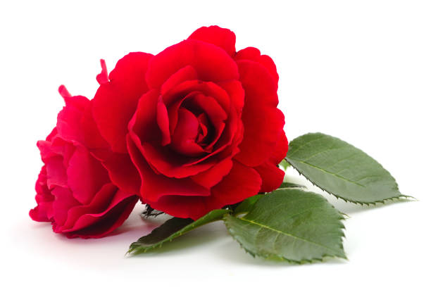 Beautiful red roses picture id1160067144?b=1&k=6&m=1160067144&s=612x612&w=0&h=z7f 1 pbbirpmvw0c7o70z qlghgwyjtdo5ctsx2tde=