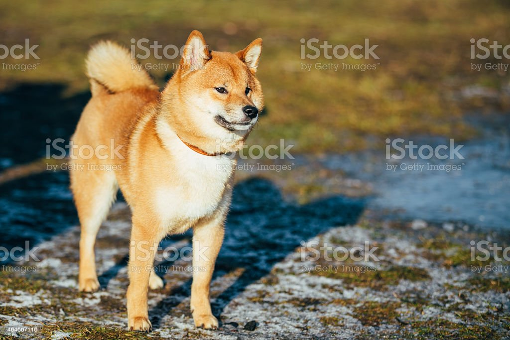 Beautiful Red Shiba Inu Puppy Dog Staying Outdoor In Spring stock photo