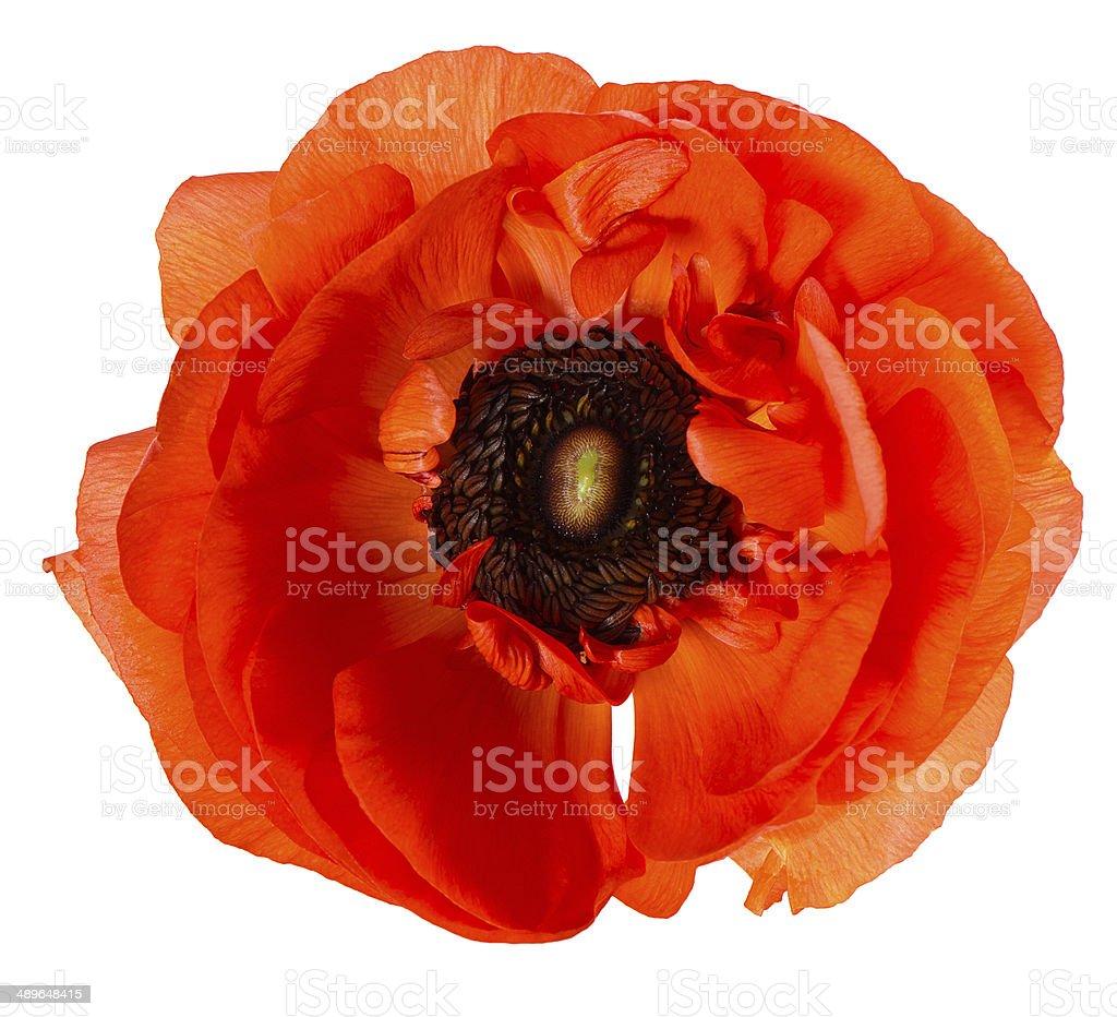 beautiful red single flower head stock photo