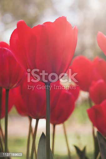Sun kissed bright red tulips close up