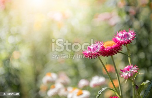 istock beautiful red straw flower on nature bcakground 901385948