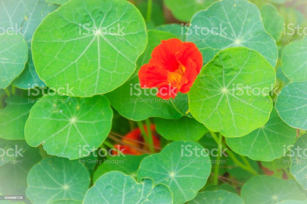 Beautiful red tropaeolum majus flower (nasturtium) with green round leaves background. Tropaeolum majus also known as garden nasturtium, Indian cress or monks cress flower. stock photo