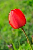 Beautiful red tulip closeup with blurred green background