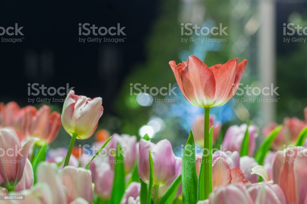 Beautiful red tulip flowers in garden with blurred background stock photo