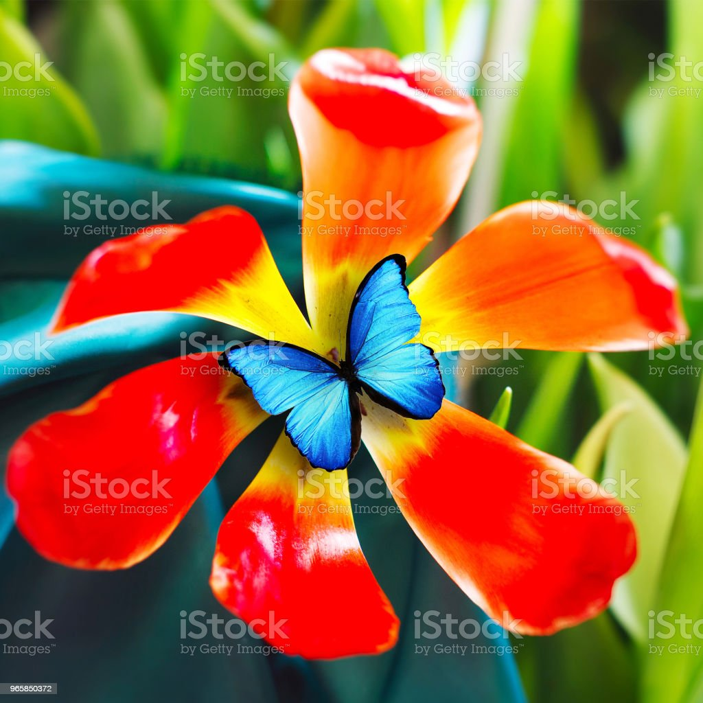 beautiful red tulip with blue butterfly - Royalty-free Animal Stock Photo