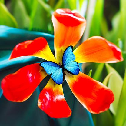 Mooie Rode Tulp Met Blauwe Vlinder Stockfoto en meer beelden van Blad