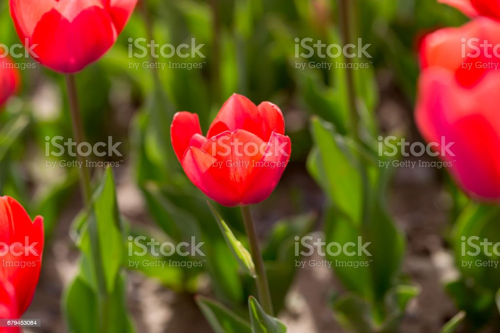Beautiful red tulips in nature royalty-free stock photo