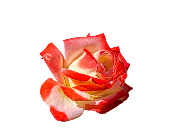Beautiful red yellow rose on a white background picture id1089327082?b=1&k=6&m=1089327082&s=612x612&w=0&h=i1laaejldlfrxtrqqzeic0qtrkonoueiub0bei2p1vs=