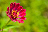 Beautiful Red Zinnia Flower Against Green Background