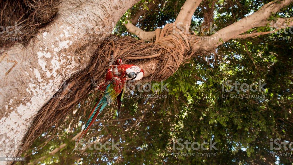 Retrato de linda arara vermelha e verde, olhando para baixo da árvore em Rhodes, Grécia - foto de acervo