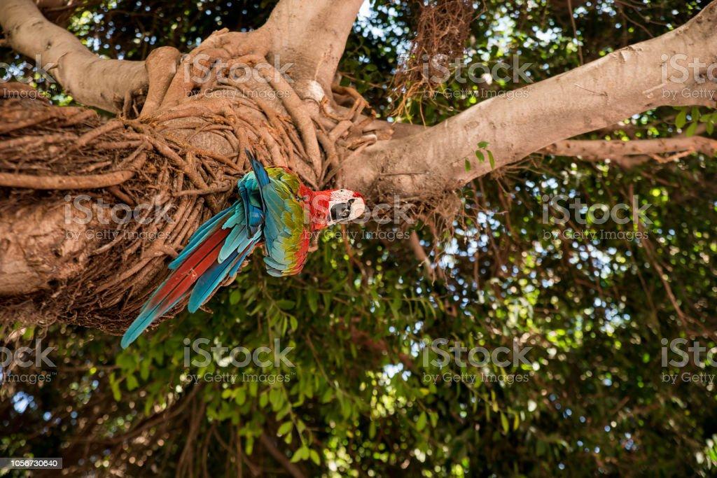 Retrato de linda arara vermelha e verde, olhando para baixo da árvore - foto de acervo