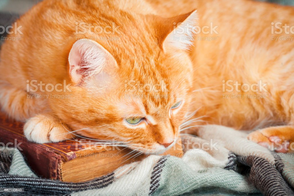 A beautiful redcat lying on an old book. stock photo