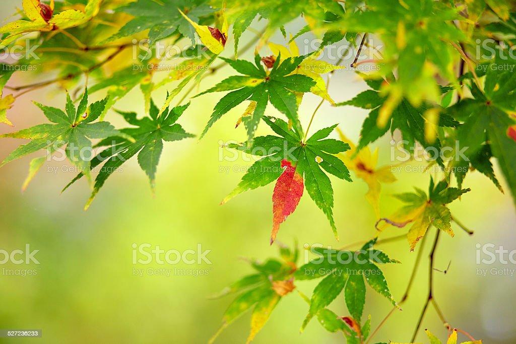 Beautiful reddening japanese maple stock photo