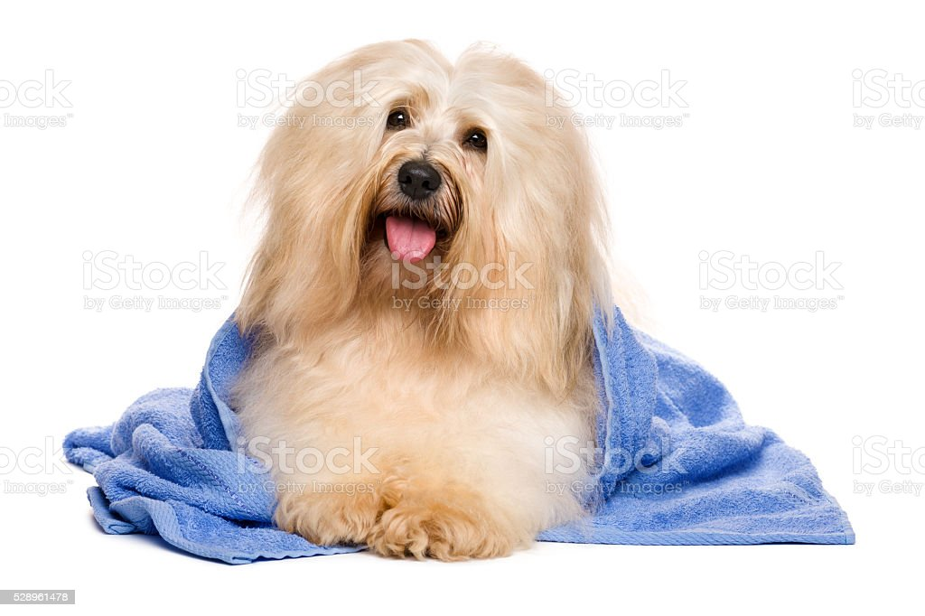 Beautiful reddish havanese dog after bath lying in blue towel stock photo