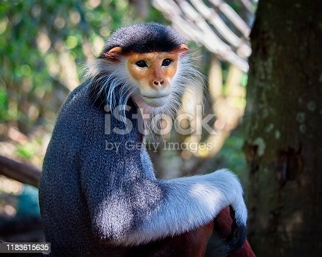 Portrait of a beautiful red-shanked douc langur