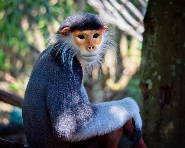 beautiful red-shanked douc langur Portrait of a beautiful red-shanked douc langur langur stock pictures, royalty-free photos & images