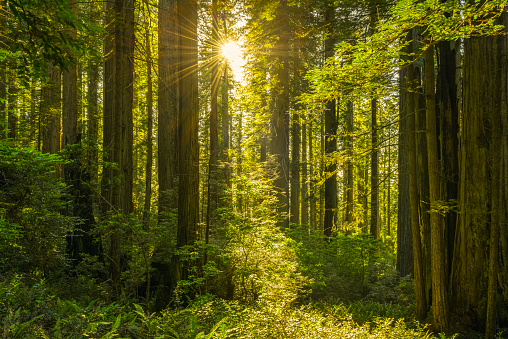 Beautiful Redwood with Morning Light