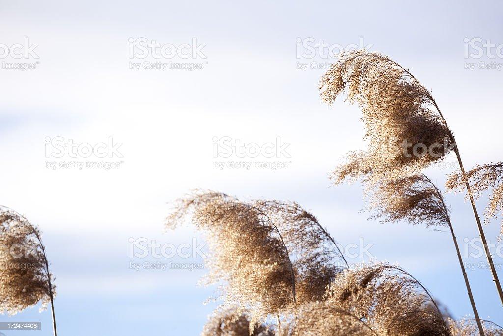 Beautiful reed royalty-free stock photo