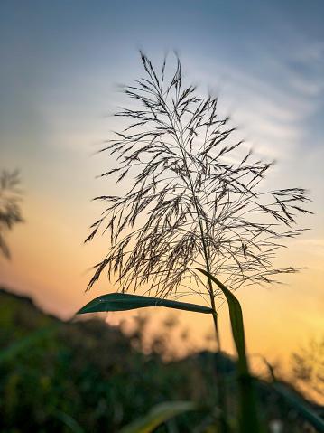 Beautiful reeds in setting sun.