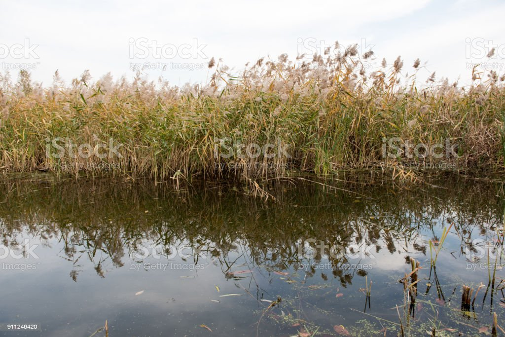 Beautiful reeds reflected in the water stock photo