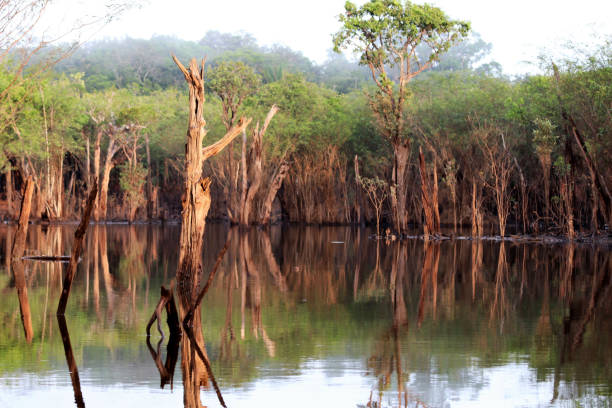 beautiful reflection of trees in the river - Rio Negro, Amazon, Brazil, South America beautiful reflection of trees in the river - Rio Negro, Amazon, Brazil, South America rio negro brazil stock pictures, royalty-free photos & images