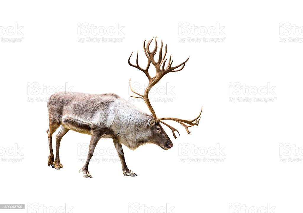 Beautiful reindeer with huge antlers stock photo