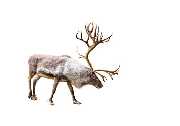 Beautiful reindeer with huge antlers stock photo
